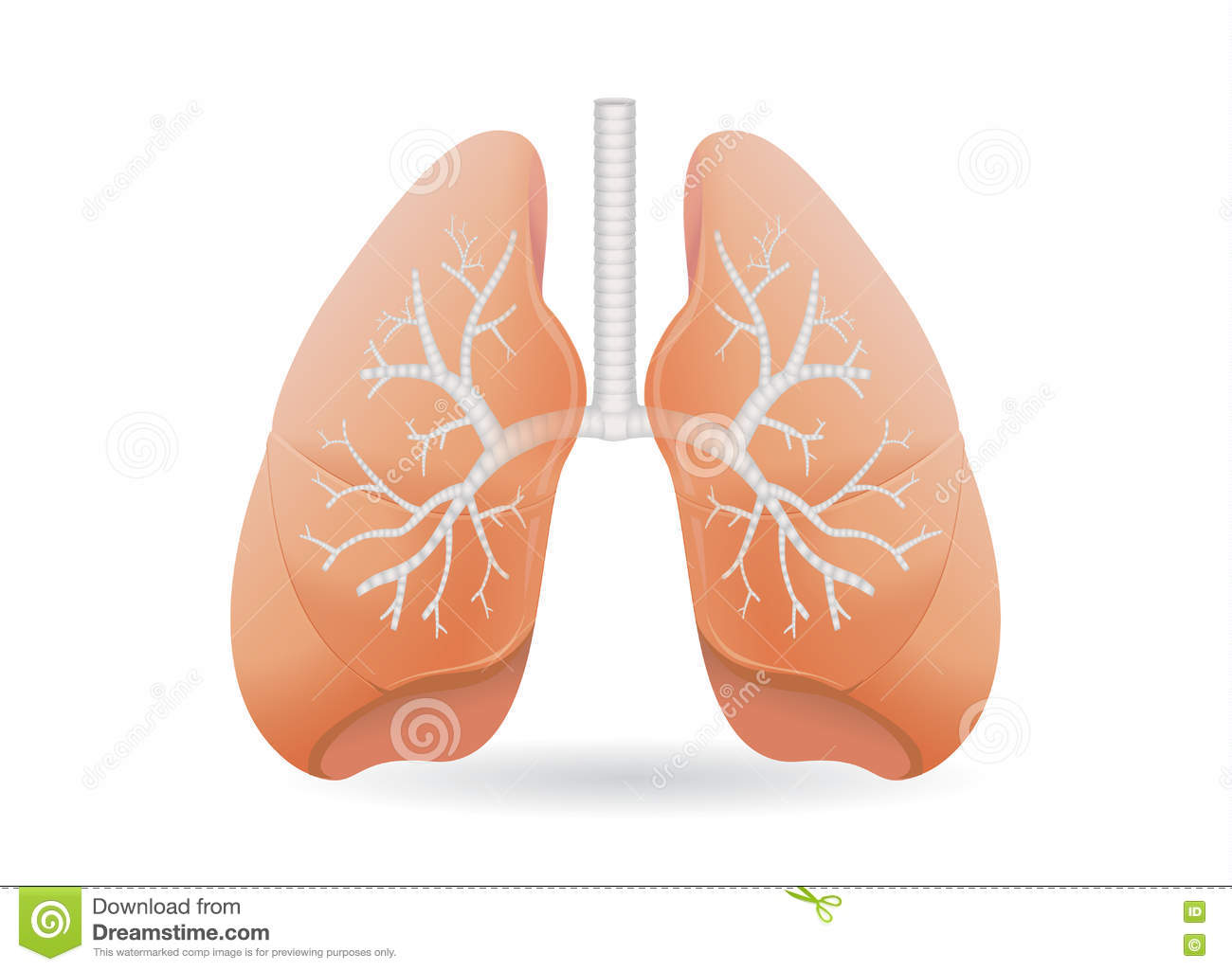 human lung vector stock vector image of abdomen object