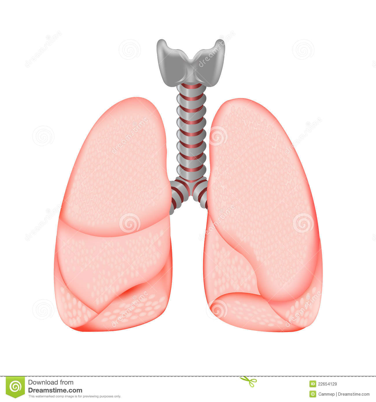 Human Lungs, Isolated On White Background, Vector Illustration.