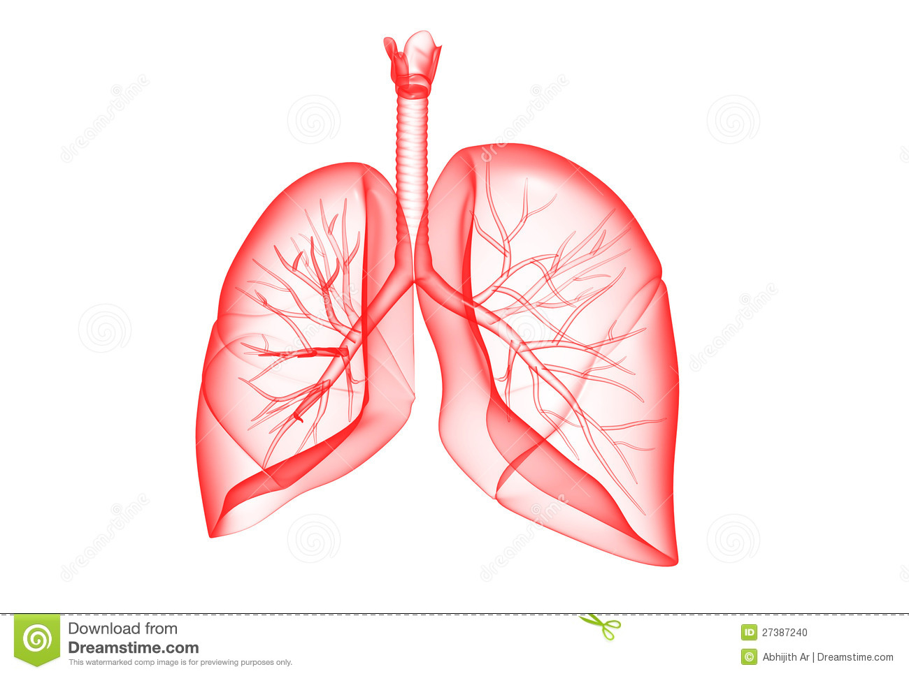 Human Lungs Stock Photo - Image: 27387240