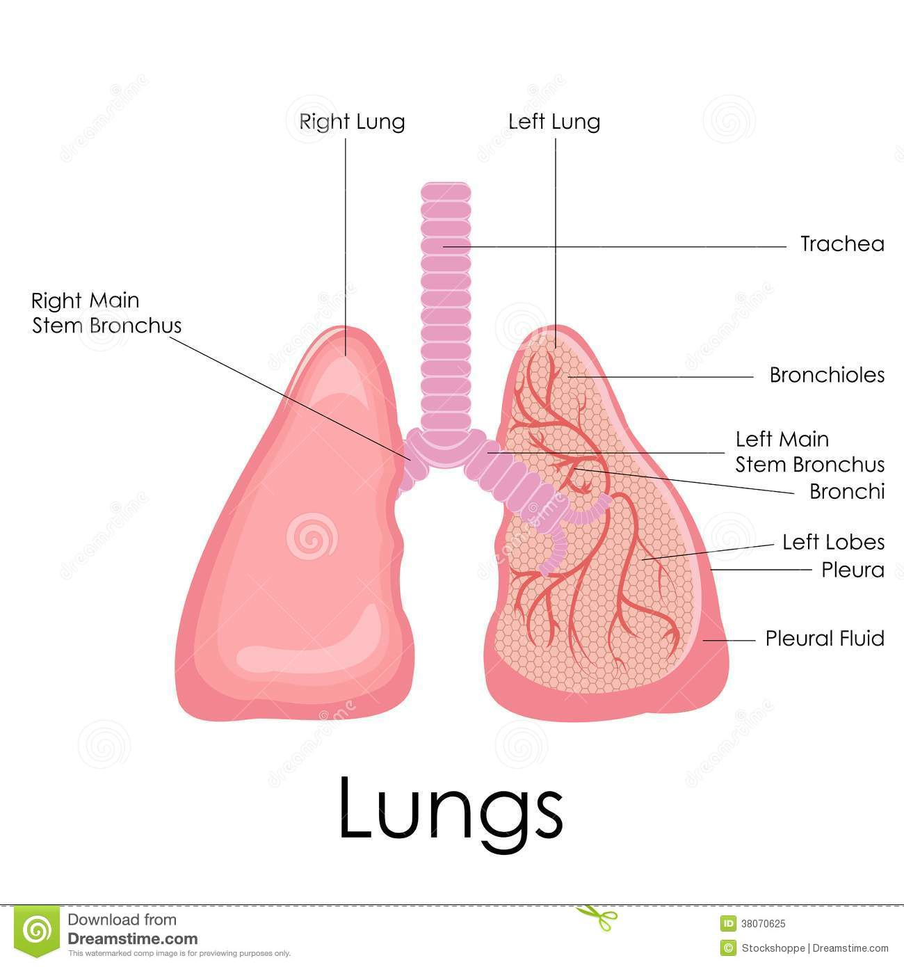 Human Lungs Anatomy Royalty Free Stock Photo - Image: 38070625