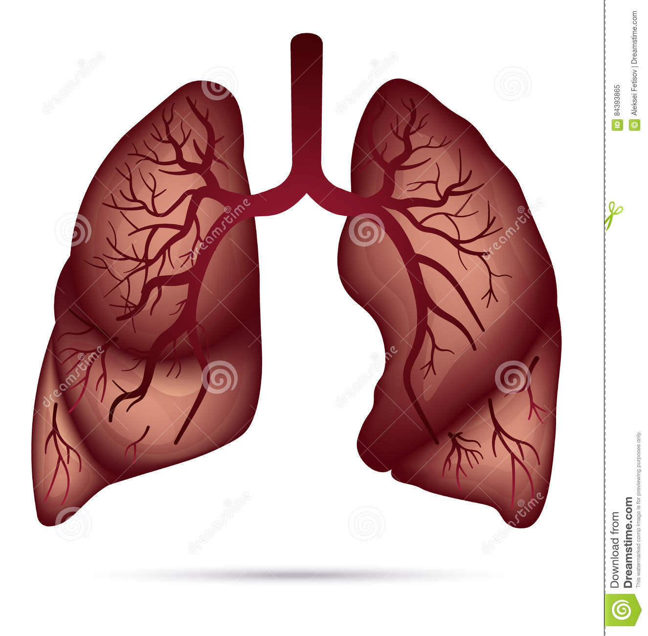 Human Lungs Anatomy For Asthma, Tuberculosis, Pneumonia. Lung Ca ...