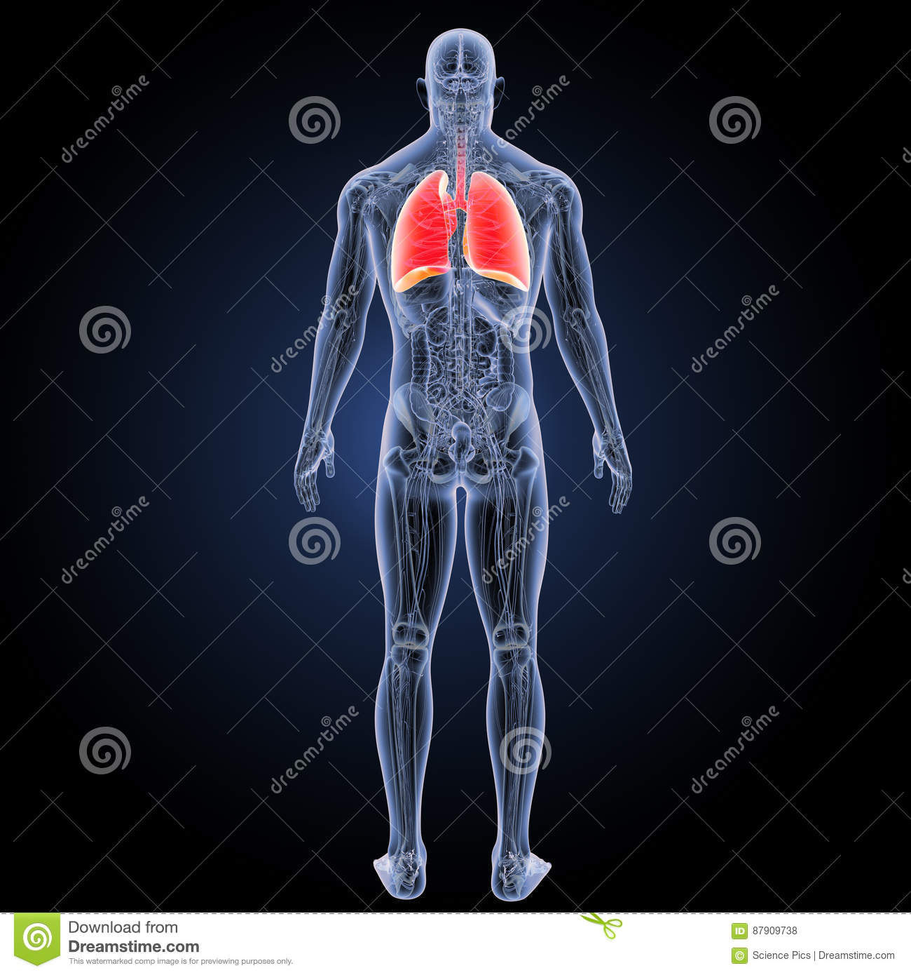 Human Lungs With Anatomy Posterior View Stock Illustration