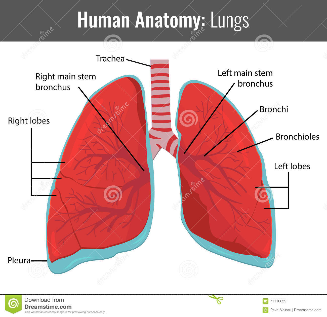 chemokines in the lung lung biology in health and disease