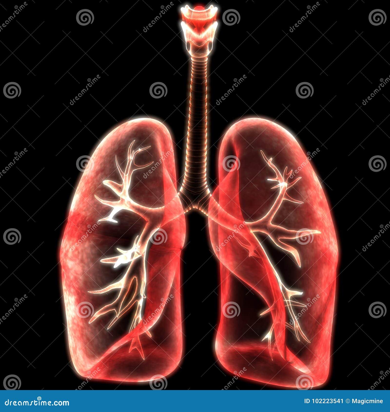 Human Lungs Inside Anatomy Stock Illustration