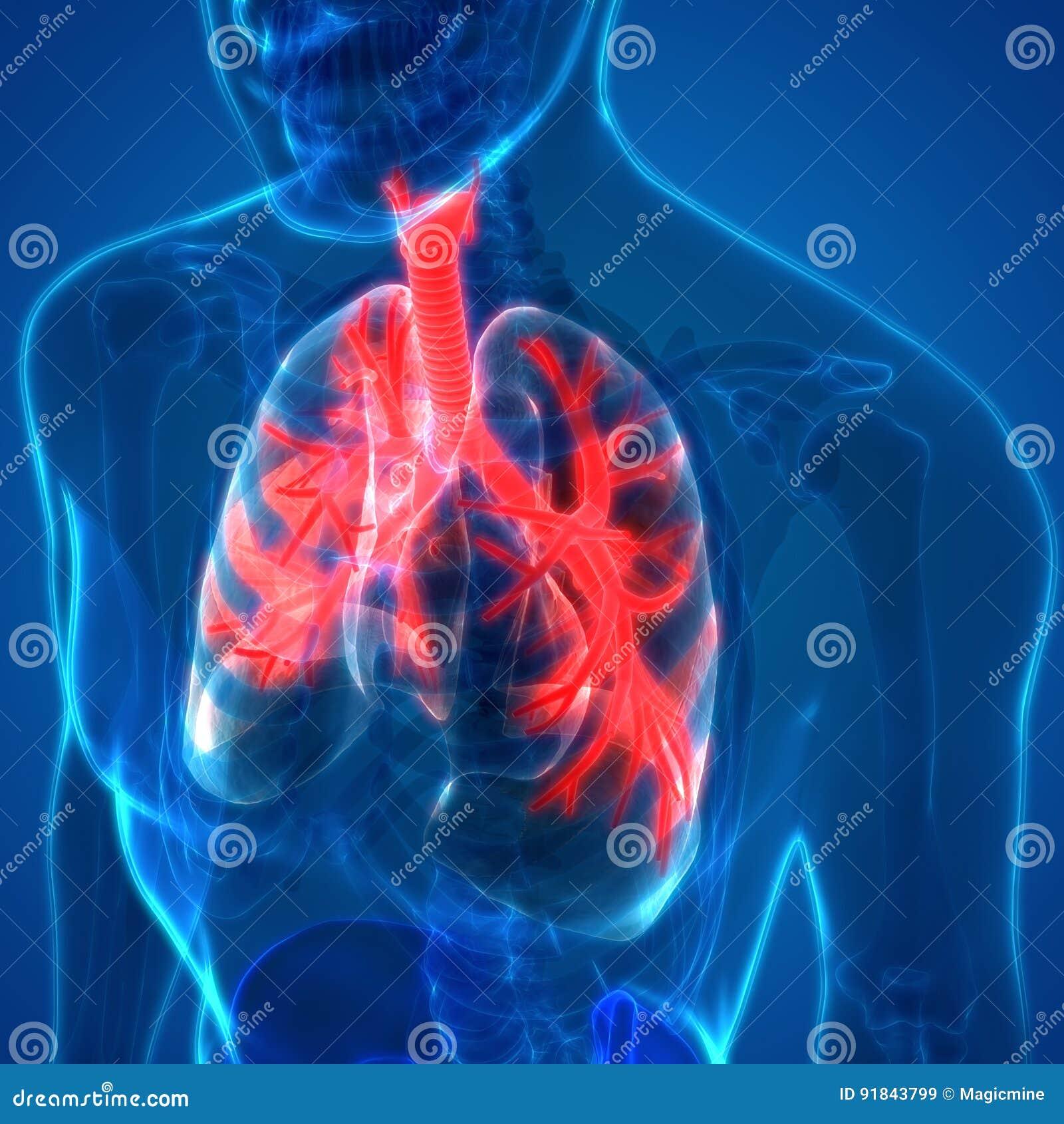 Human Lungs Inside Anatomy Larynx Trachea Bronchioles Stock