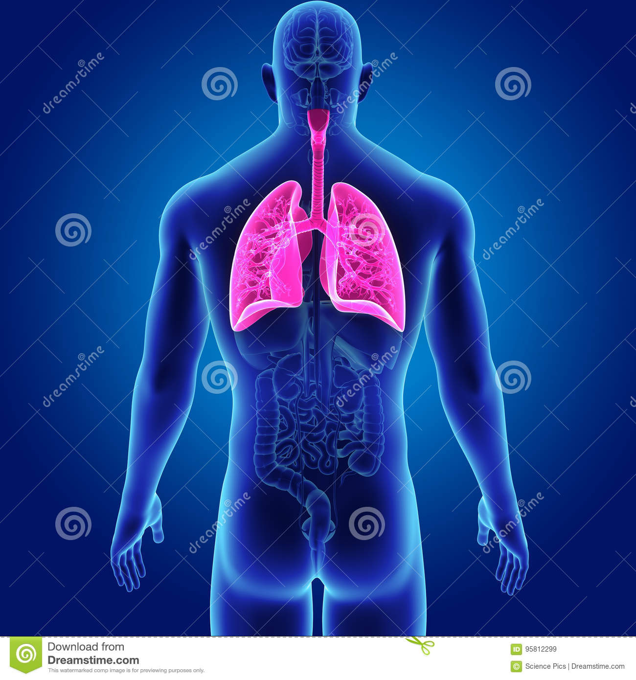Human Lungs With Organs Posterior View Stock Illustration