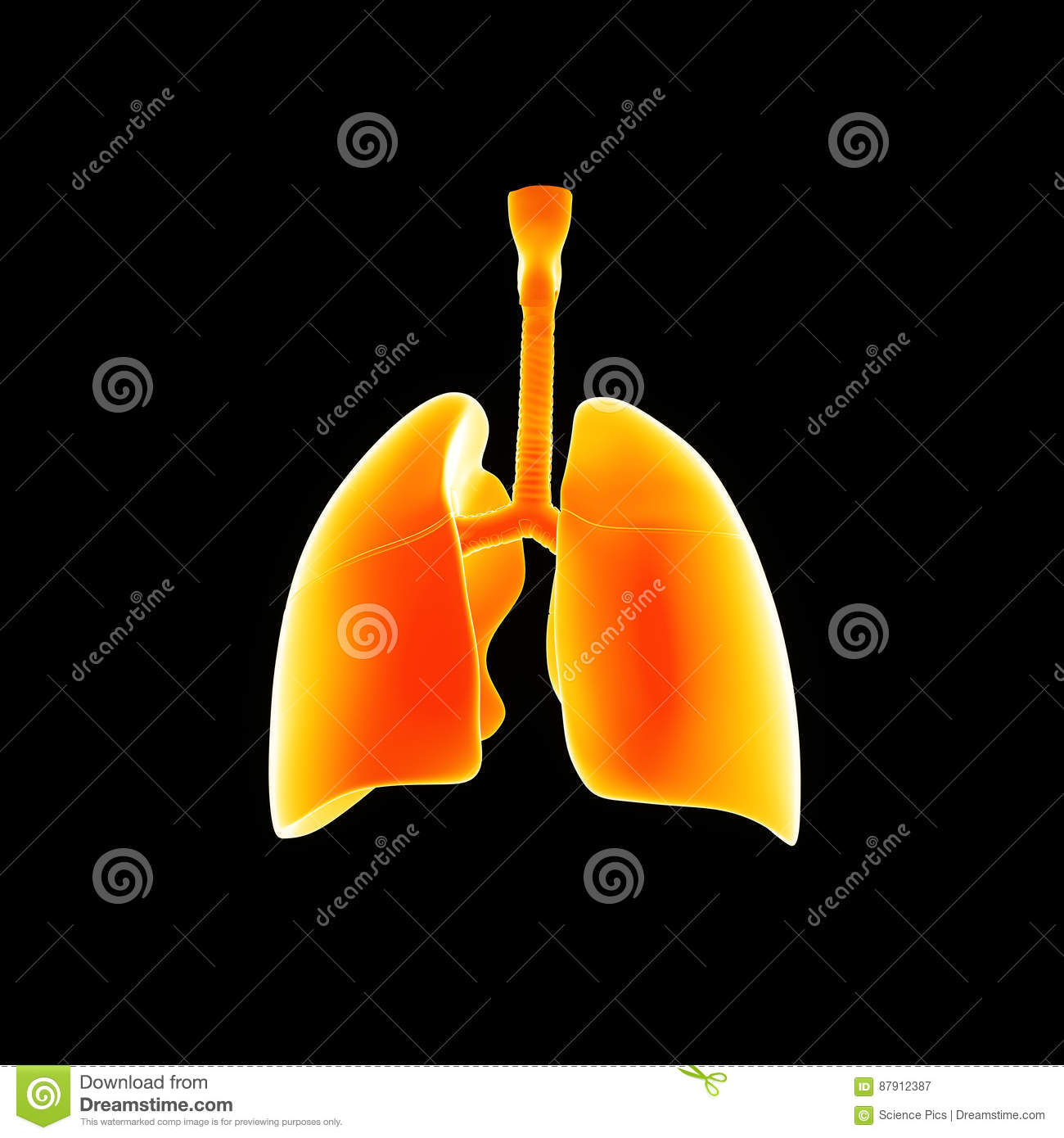 Human Lungs posterior view