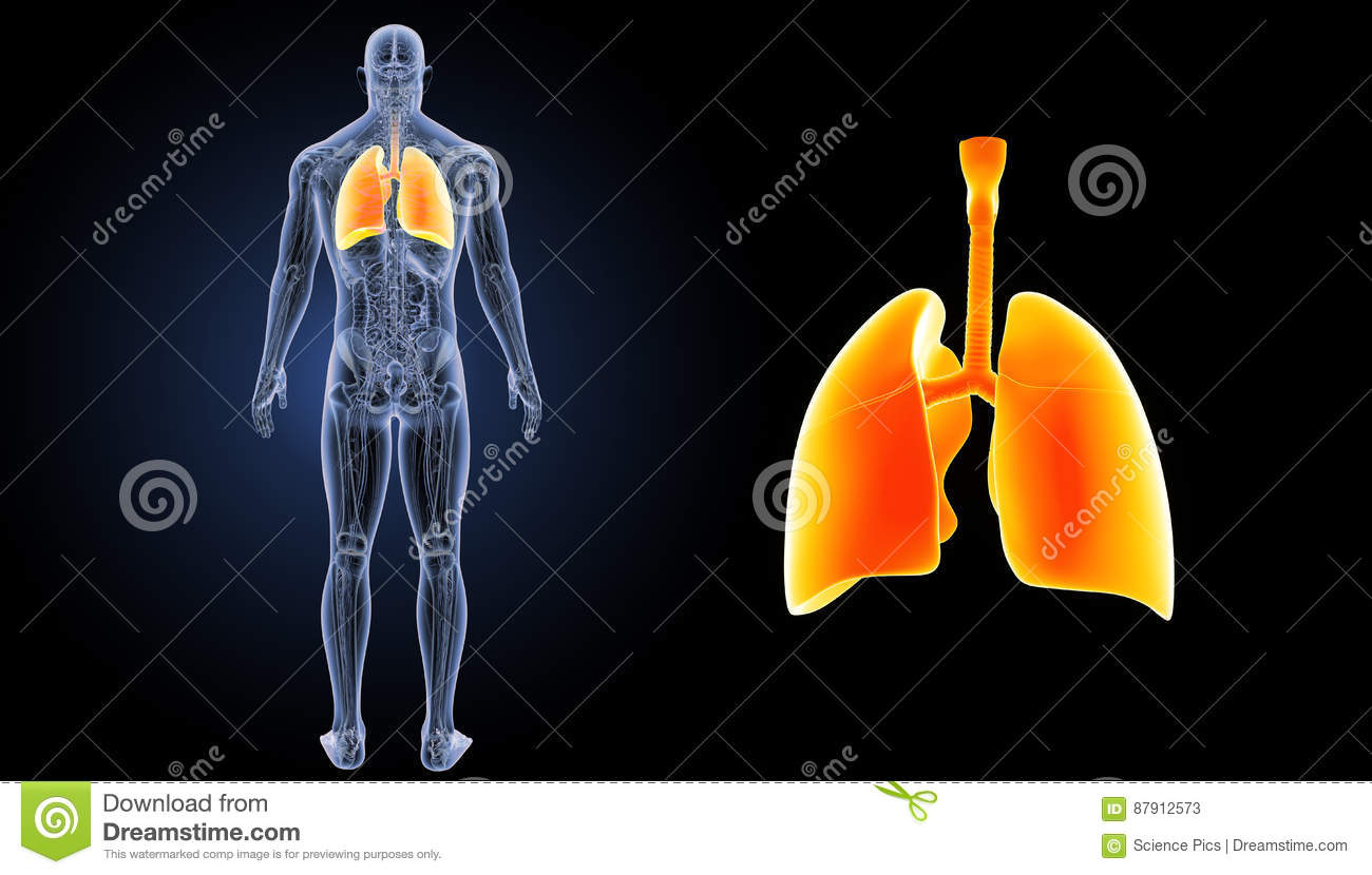 Human Lungs Zoom With Anatomy Posterior View Stock Illustration
