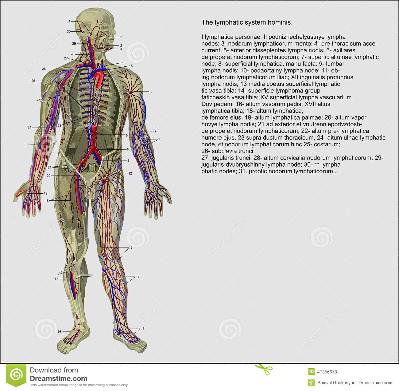 Human Lymphatic System Stock Illustration Illustration Of Muscle