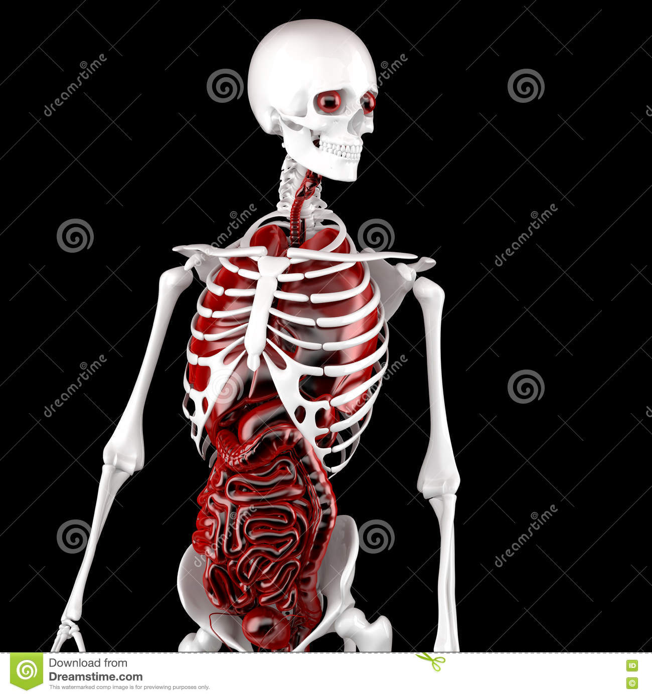 Human Male Anatomy Skeleton And Internal Organs 3d Illustration