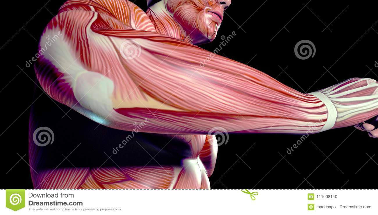 Human Male Body Anatomy Illustration Of The Human Arm With Visible ...