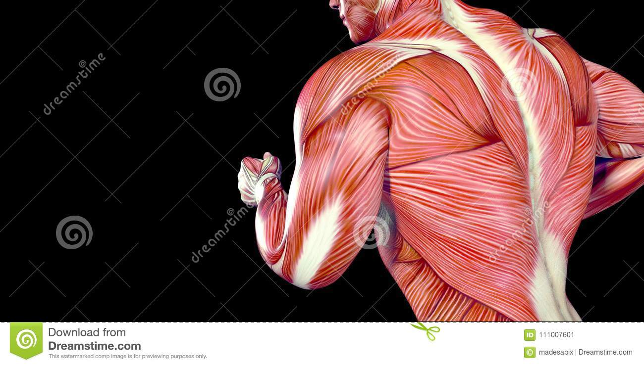 Human Male Body Anatomy Illustration Of A Human Running With Visible ...