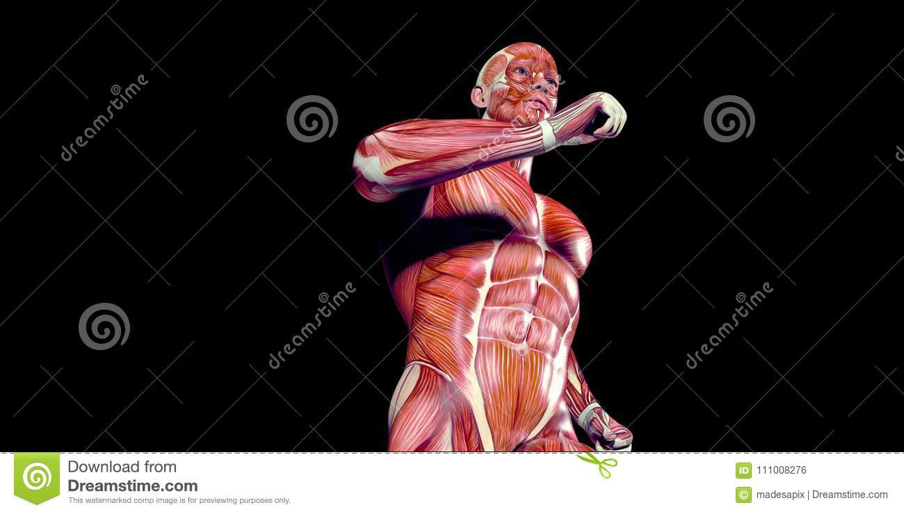Human Male Body Anatomy Illustration With Visible Muscles Stock