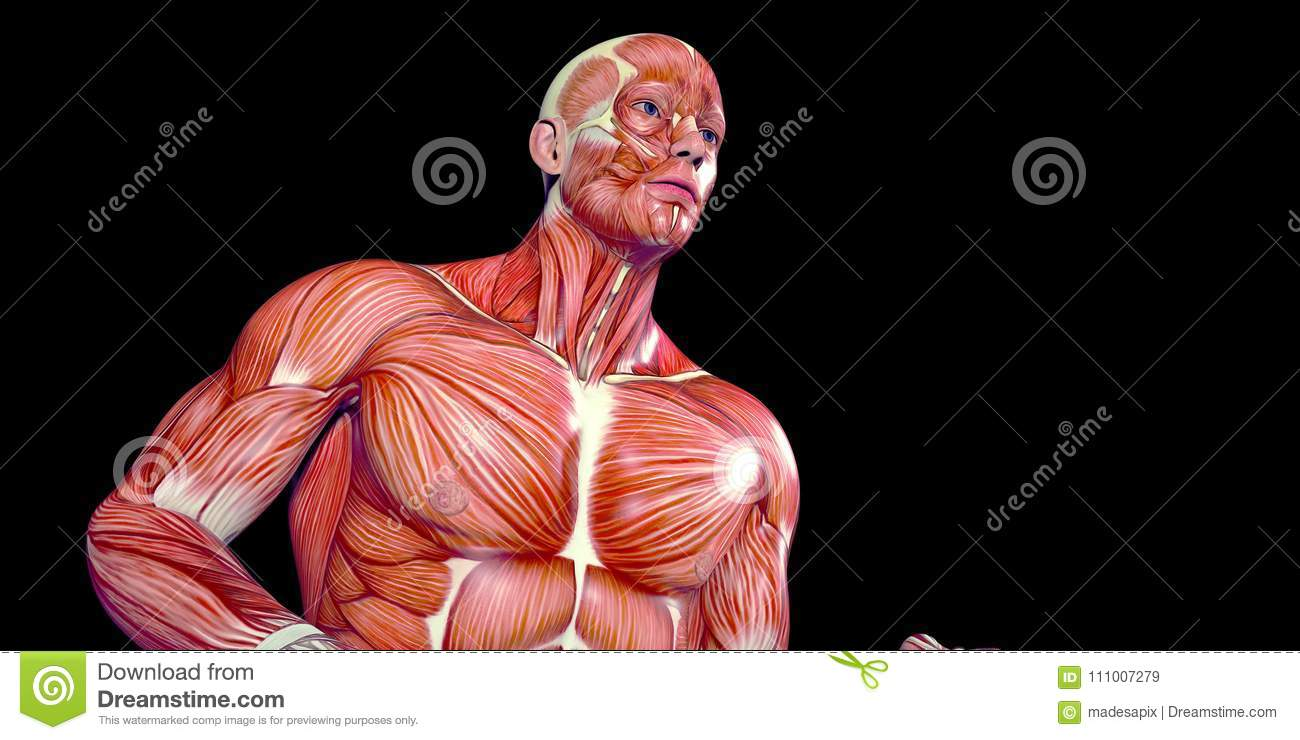 Human Male Body Anatomy Illustration Of A Human Jogger With Visible ...