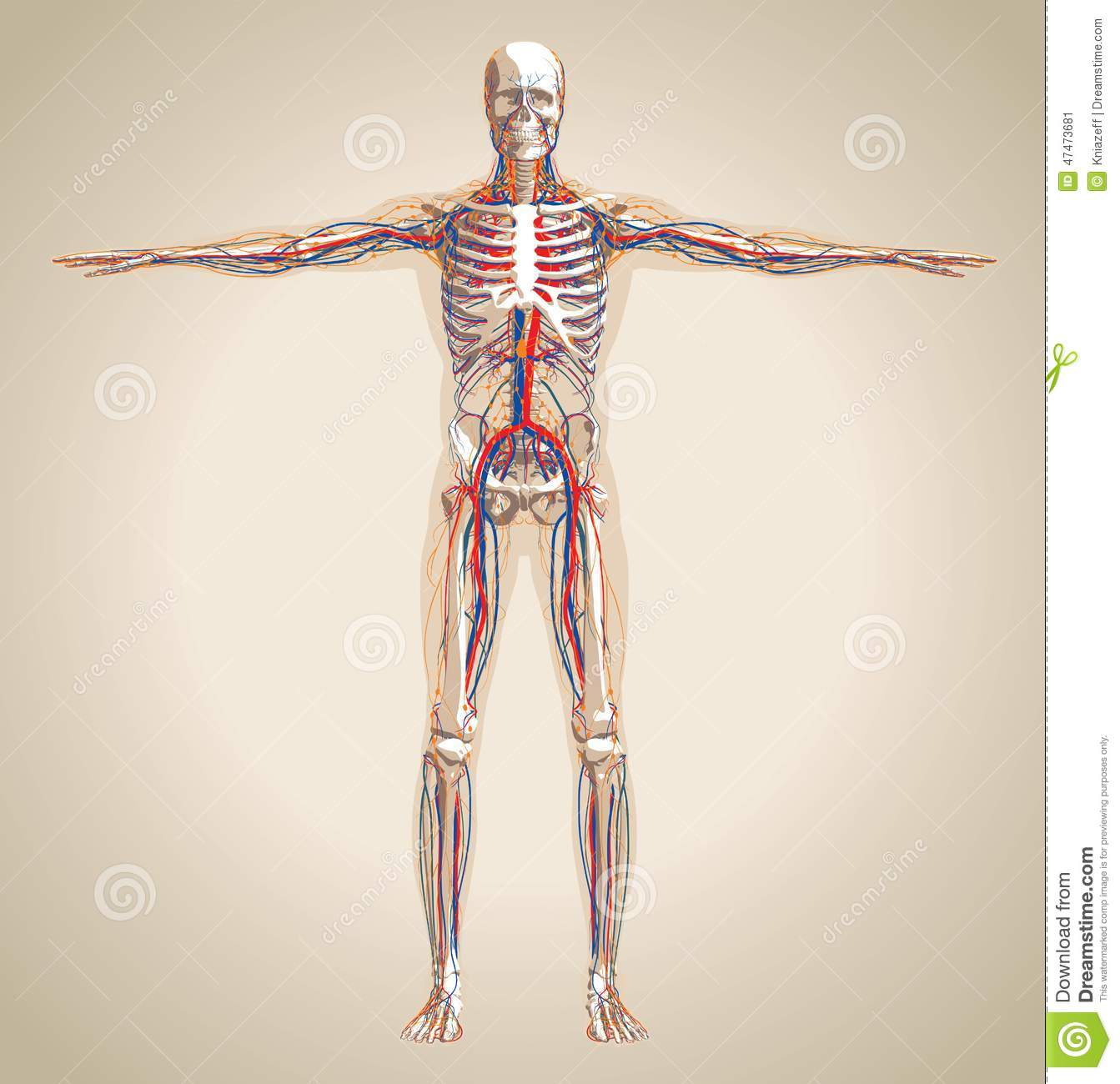 Human Male Circulation System Nervous System And Lymphatic Sy