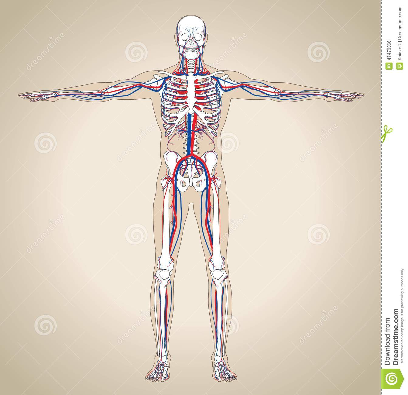 Human Male Circulatory System Stock Vector Illustration Of Blood