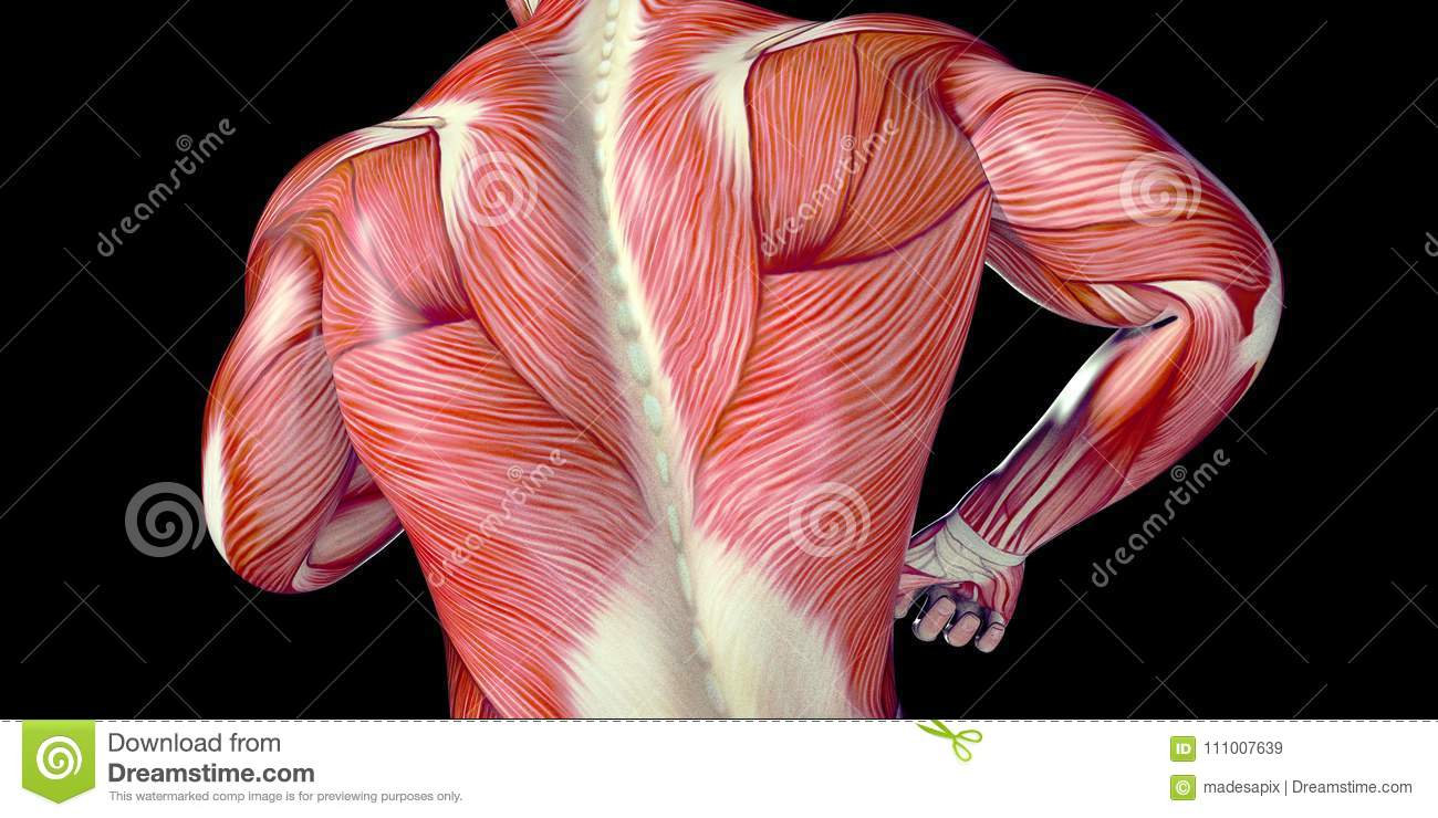 Human Male Body Anatomy Illustration Of A Human Back With Visible ...