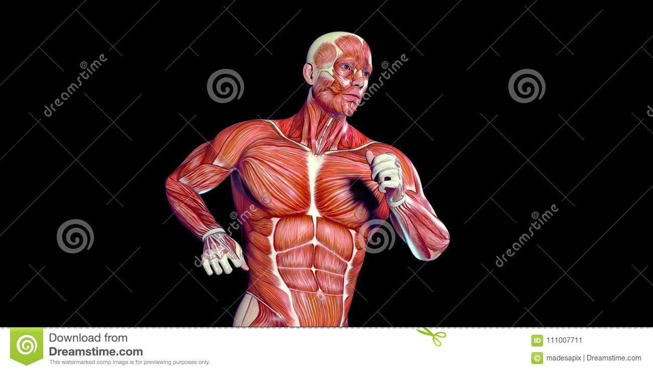 Human Male Body Anatomy Illustration Of A Human Torso With Visible ...