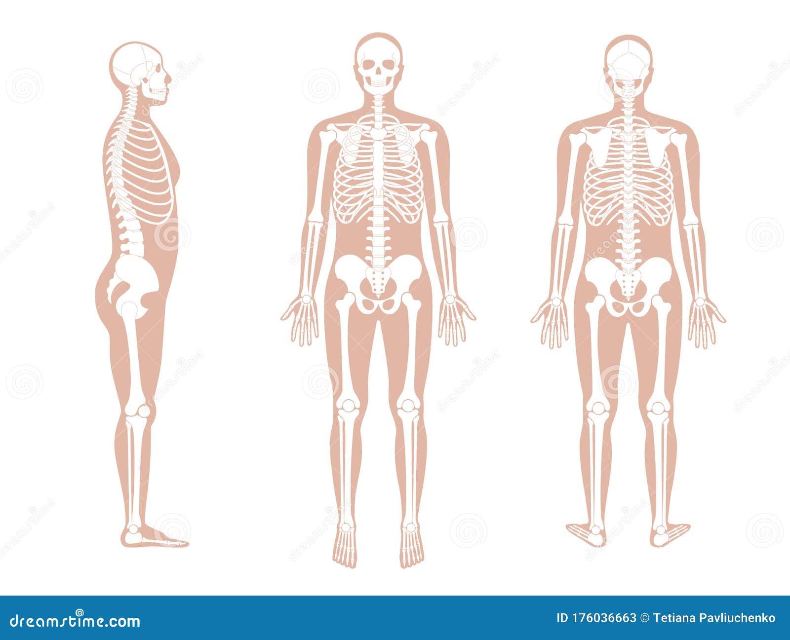diagram of male skeleton human man skeleton anatomy stock vector illustration of chart  human man skeleton anatomy stock vector