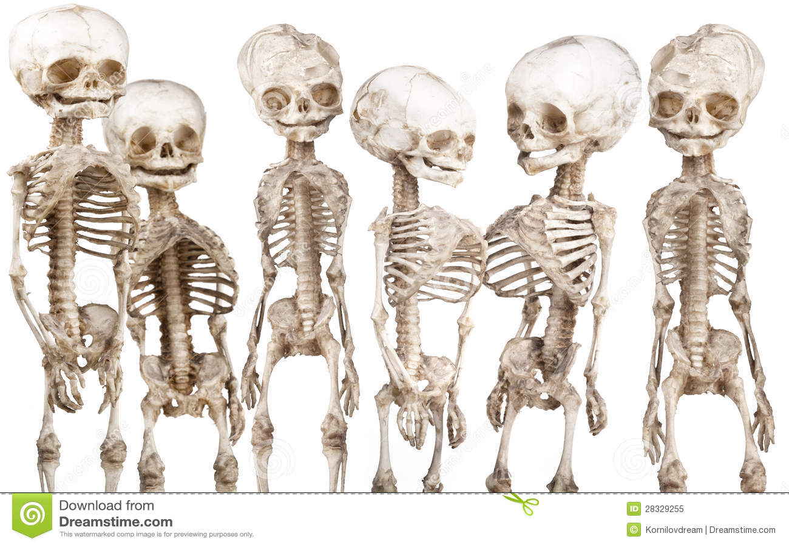 Human medical skeleton