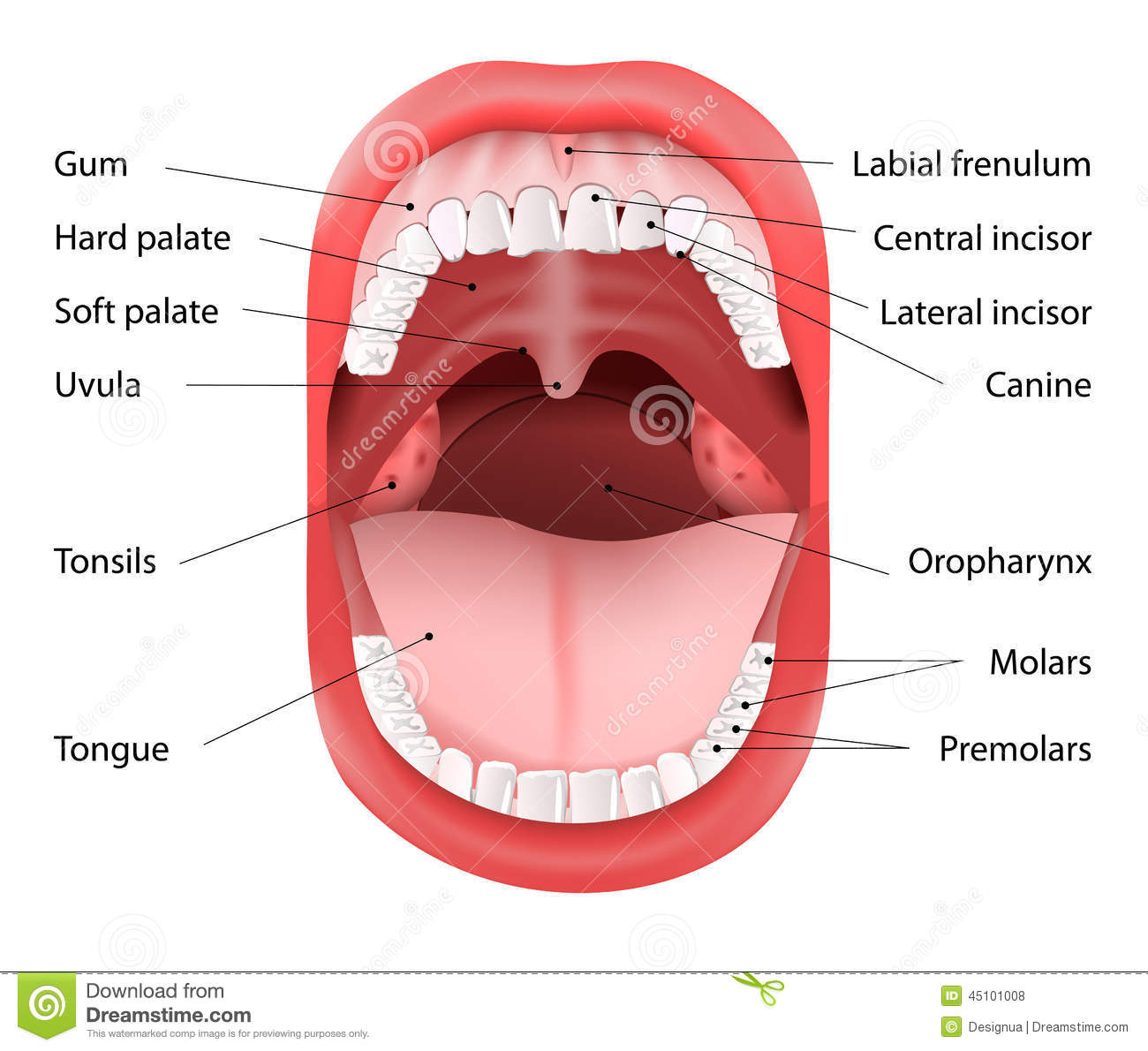 Mouth Medical Diagram - Wiring Diagram •