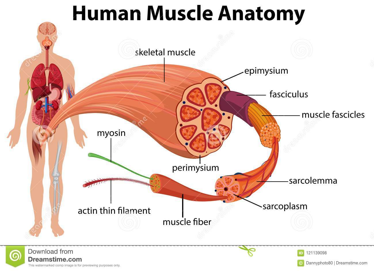 Human Muscle Anatomy Diagram Stock Vector Illustration Of Body