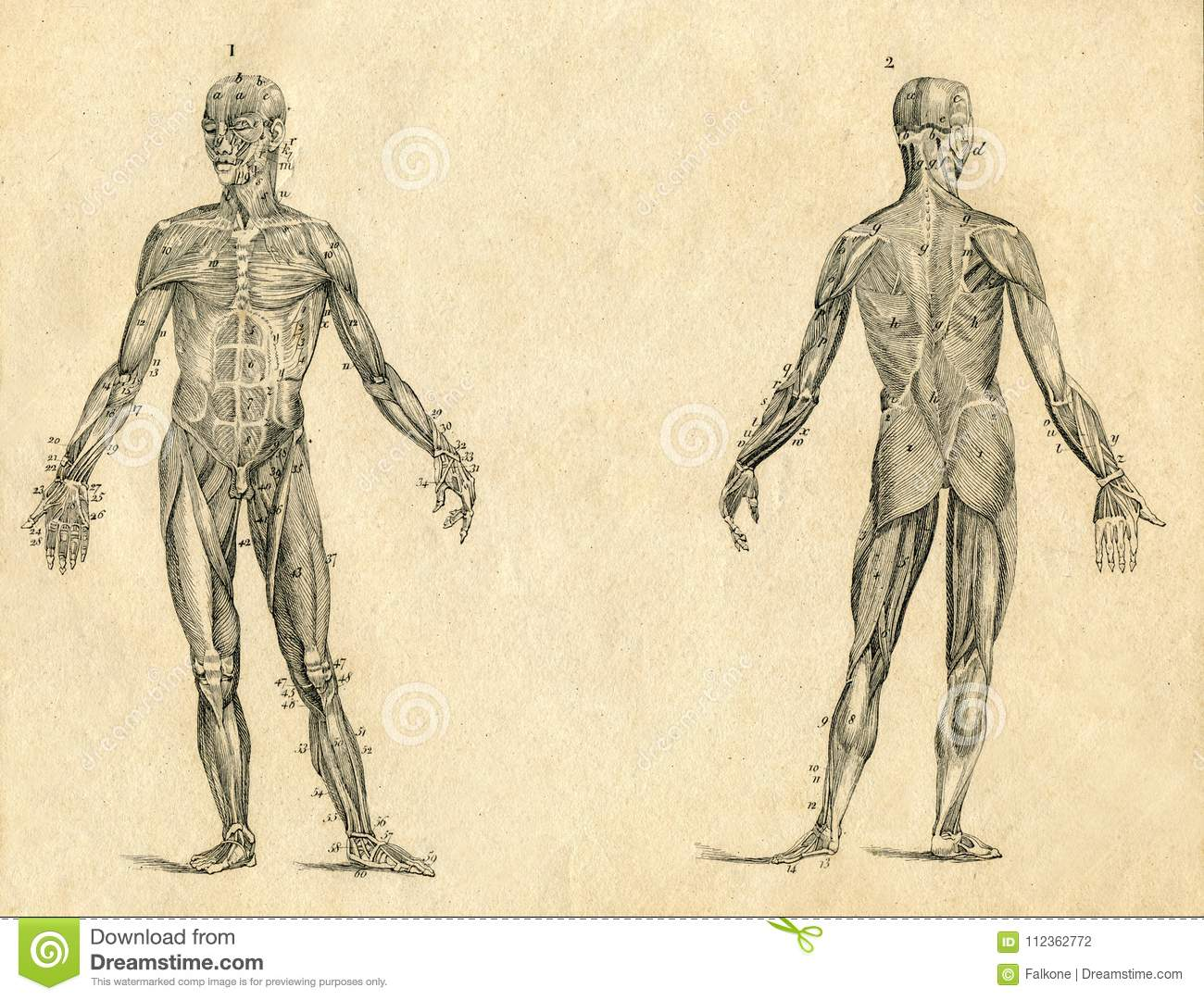Human Muscle Anatomy Vintage Drawing Engraved Illustration Stock ...