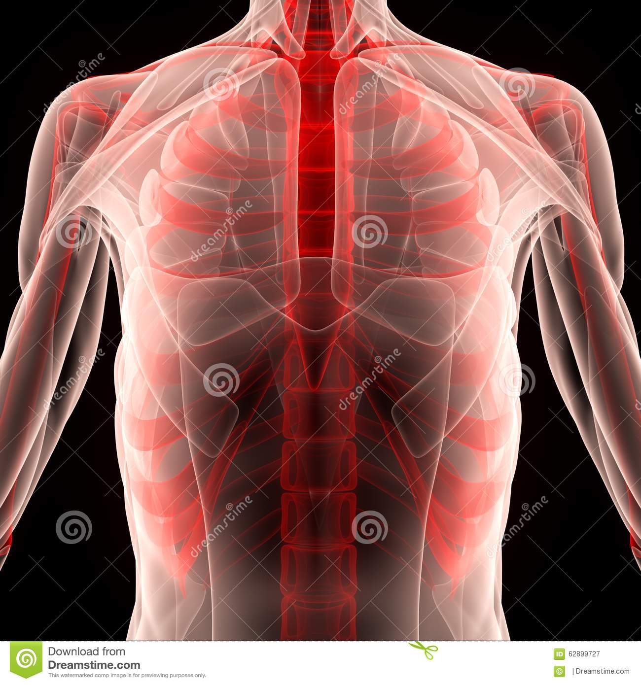 Human Muscle Body With Ribs Stock Illustration - Illustration of ...