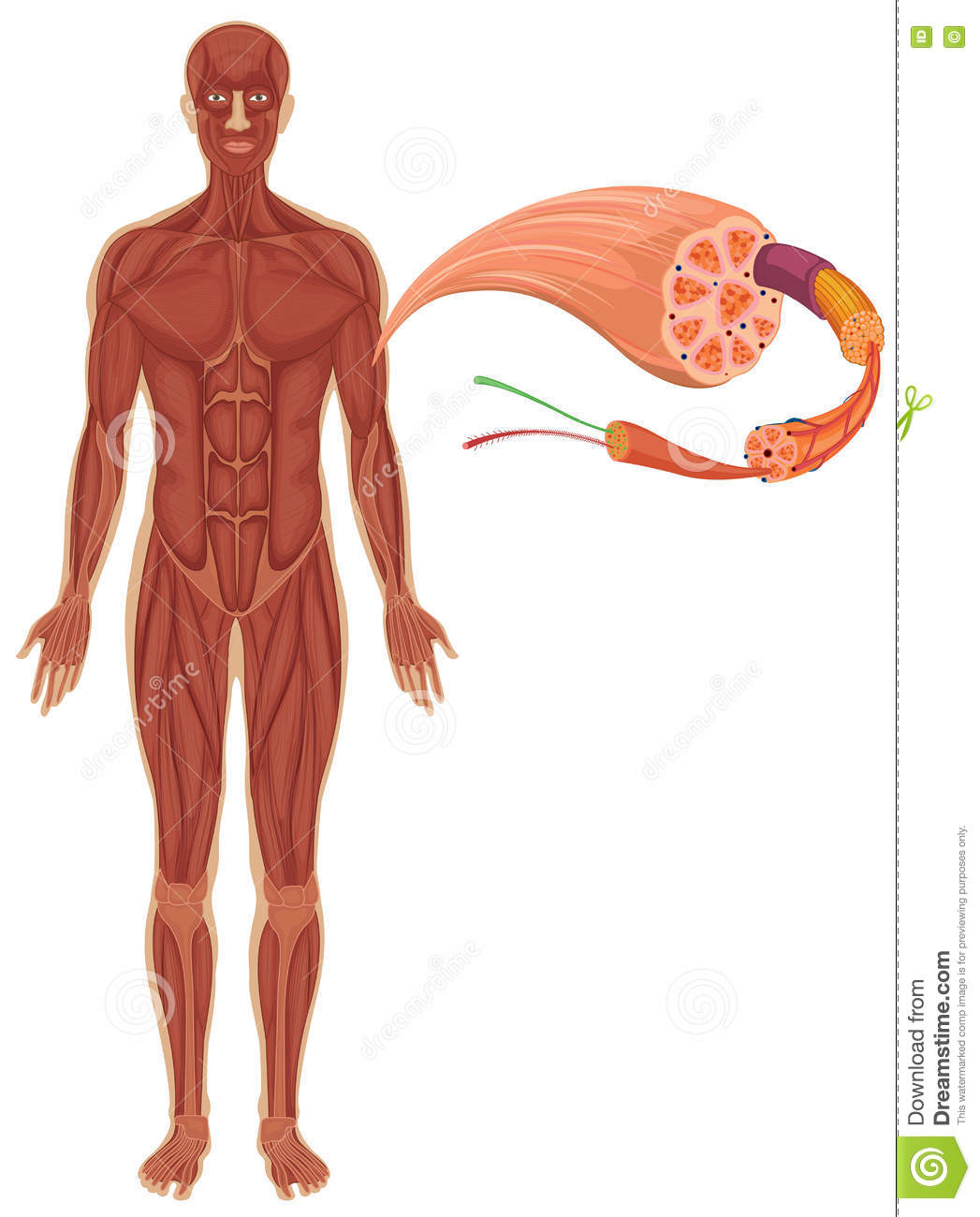 Human With Muscle Diagram Stock Vector Illustration Of Isolated