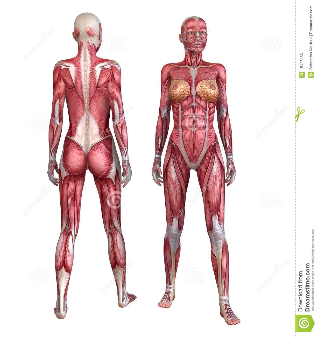3d rendered anatomy illustration of a female body with muscle system.