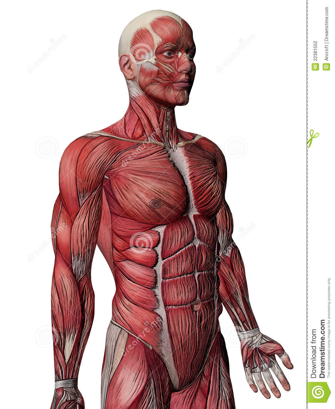 human muscle images – applecool, Muscles