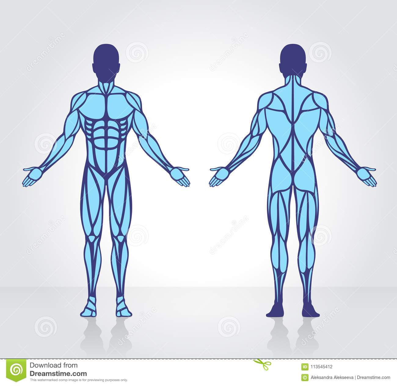 Human Muscles Anatomy Model Vector Stock Vector Illustration Of