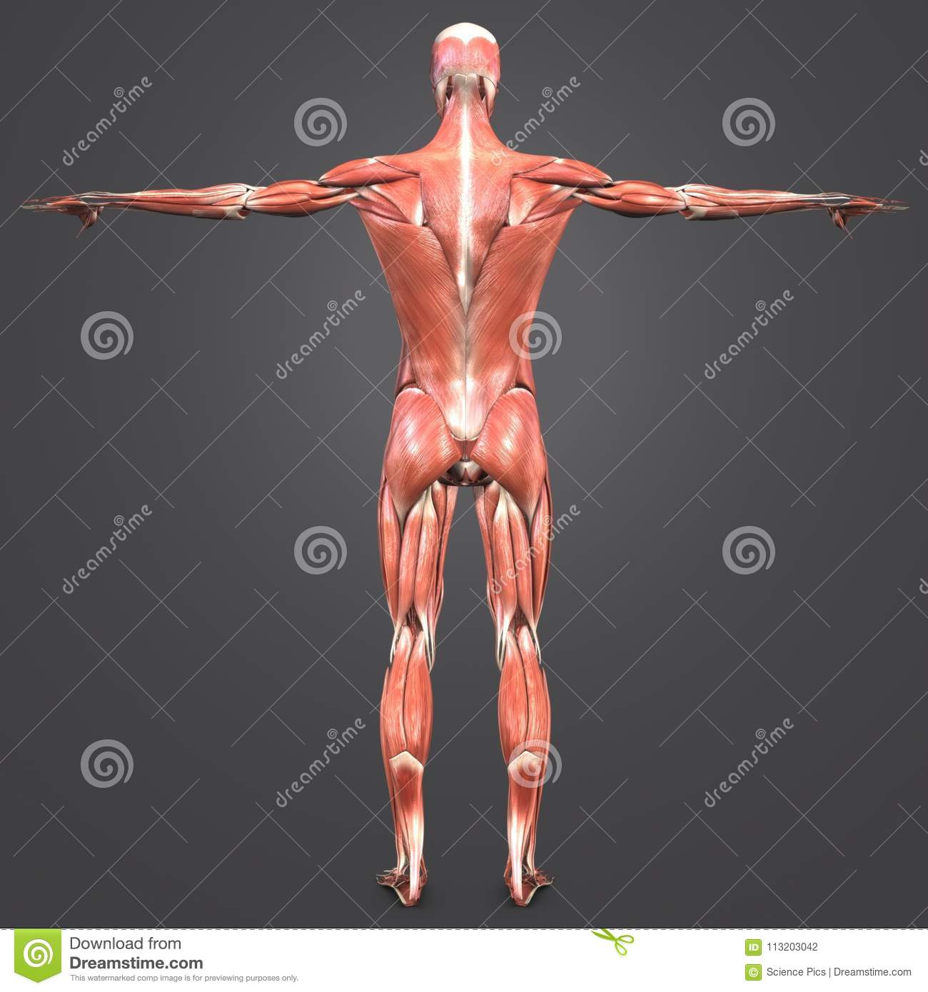 Human Muscular Anatomy Posterior View Stock Illustration