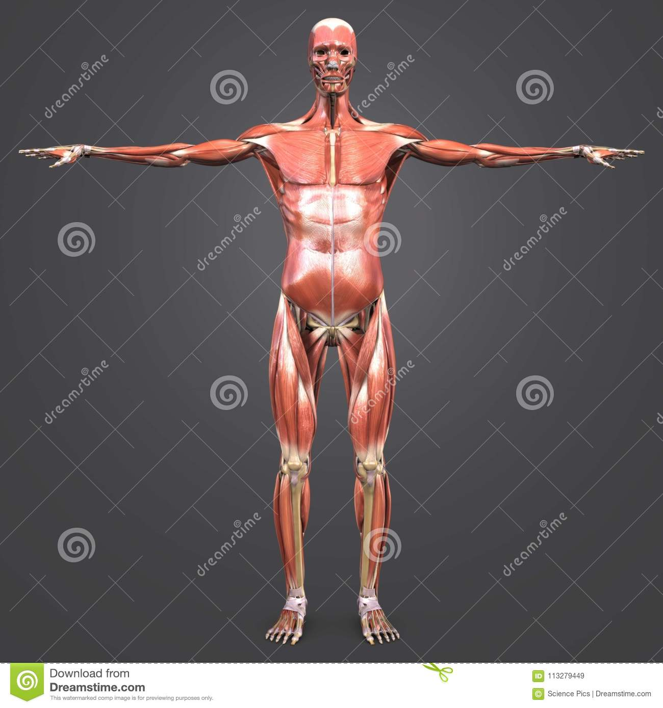 Human Muscular Anatomy With Skeleton Anterior View Stock
