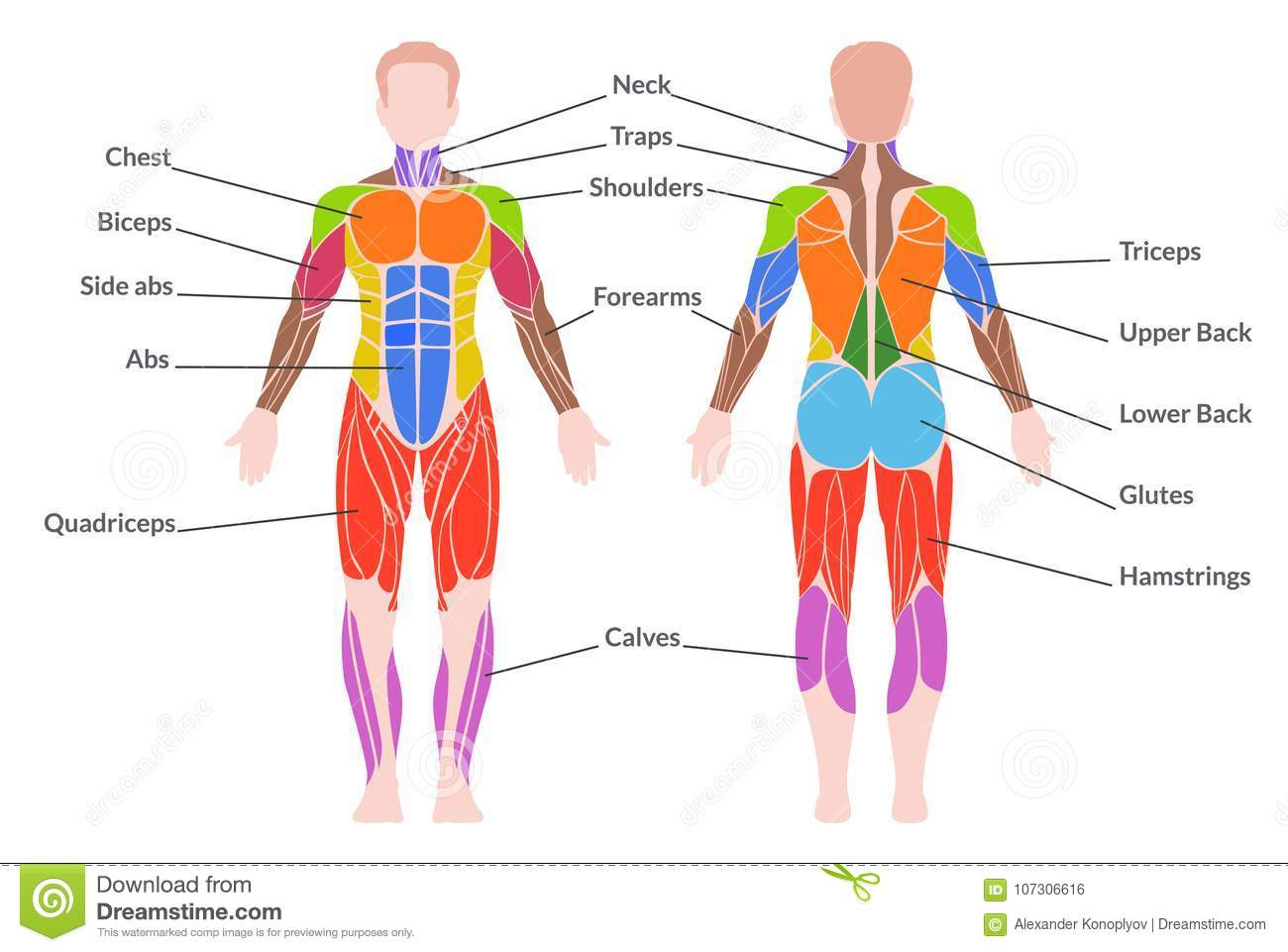 Human Muscular System Stock Vector Illustration Of Anatomy 107306616