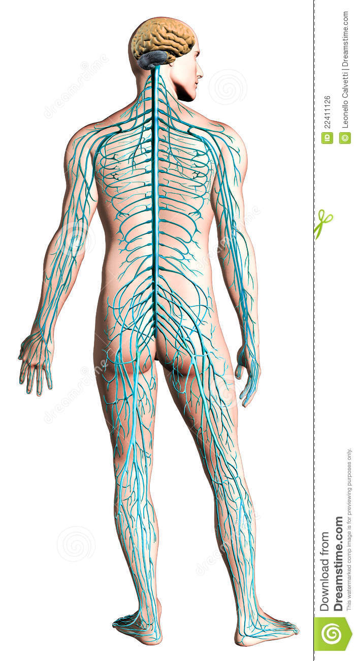 Human Nervous System Diagram  Royalty Free Stock Image