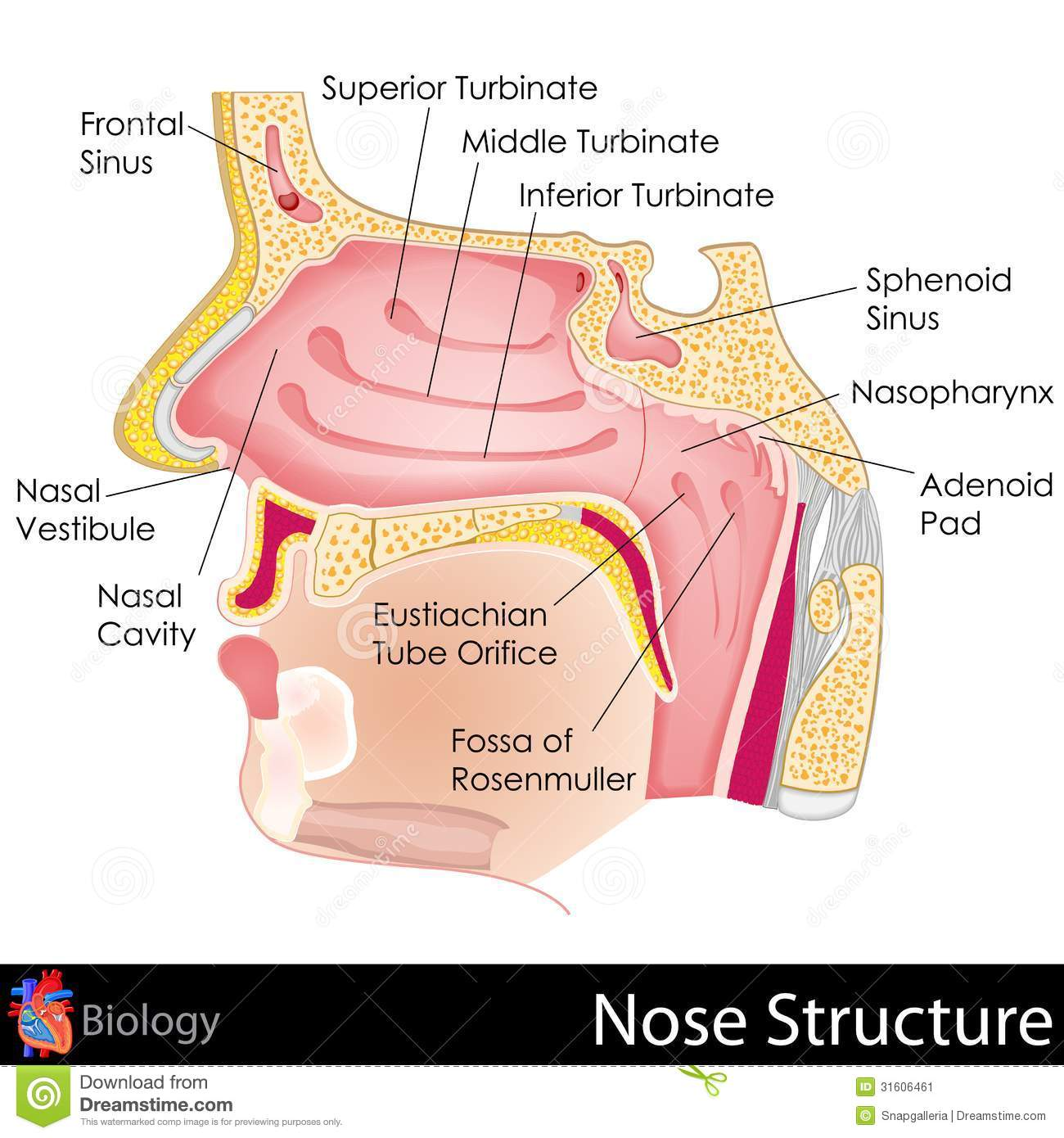 Human nose stock illustration illustration of fossa 31606461 human nose pooptronica Images