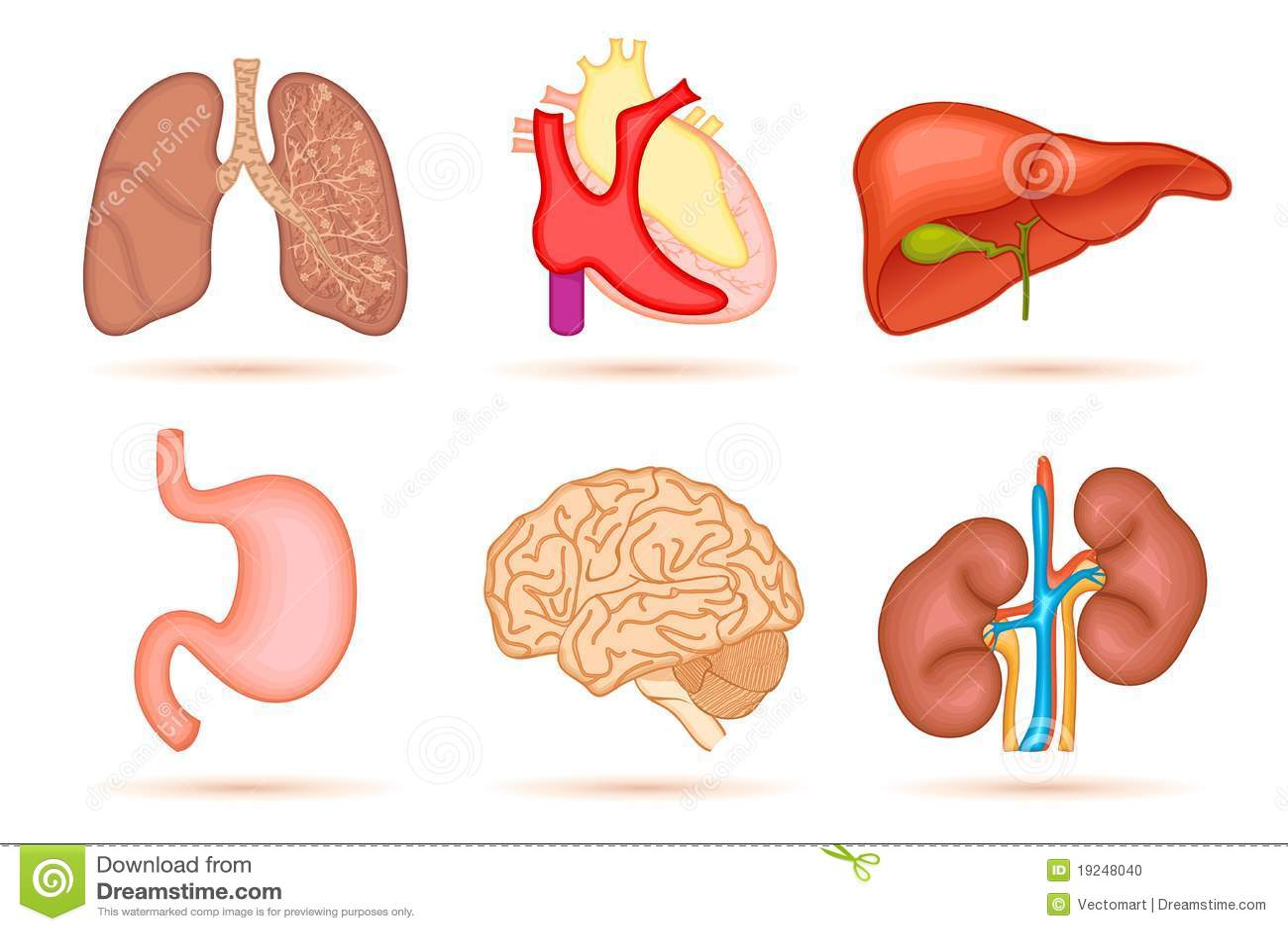 Human Organ Stock Vector Illustration Of Blood Biological 19248040