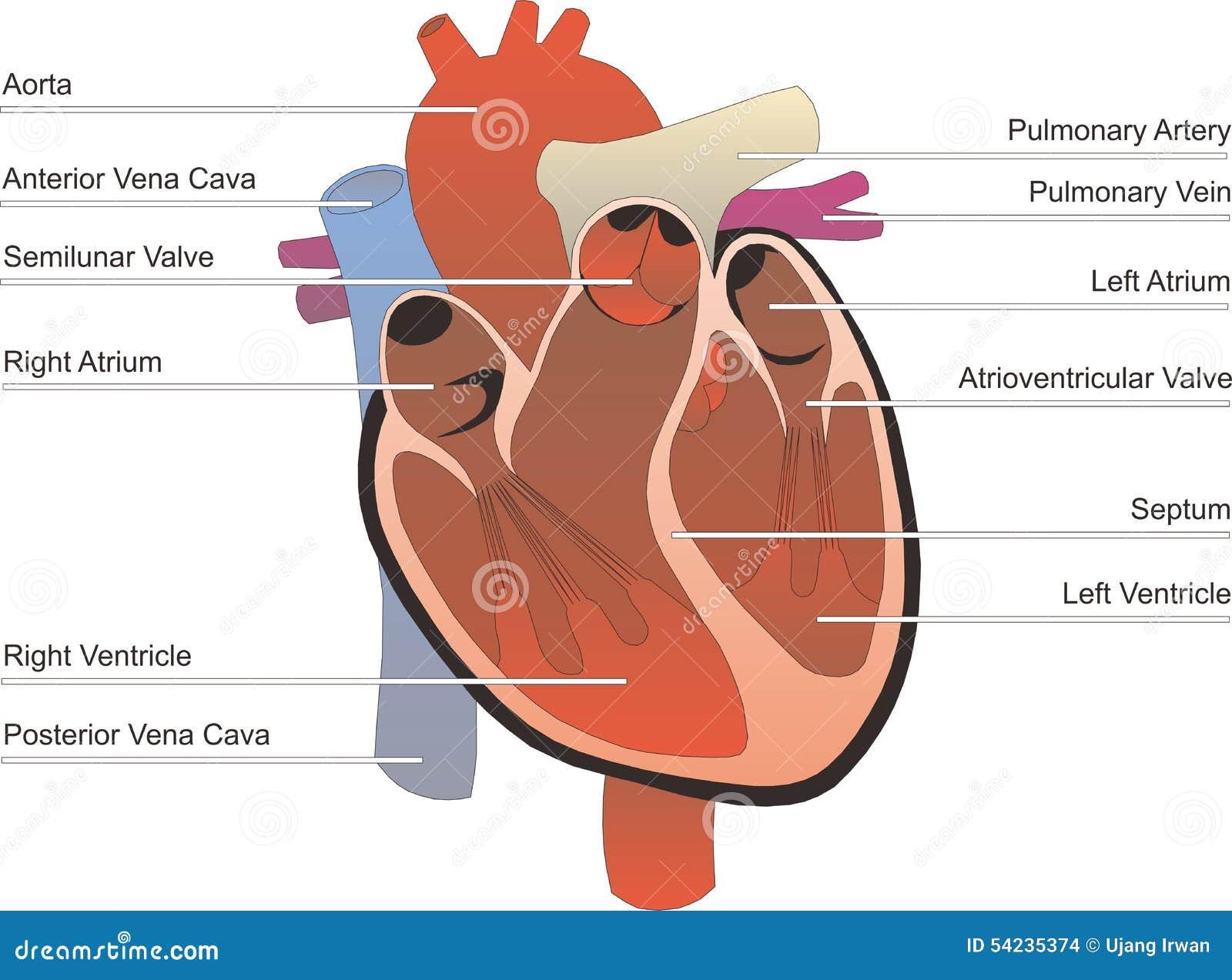 Human organ stock illustration illustration of digestive 54235374 human organ ccuart Gallery