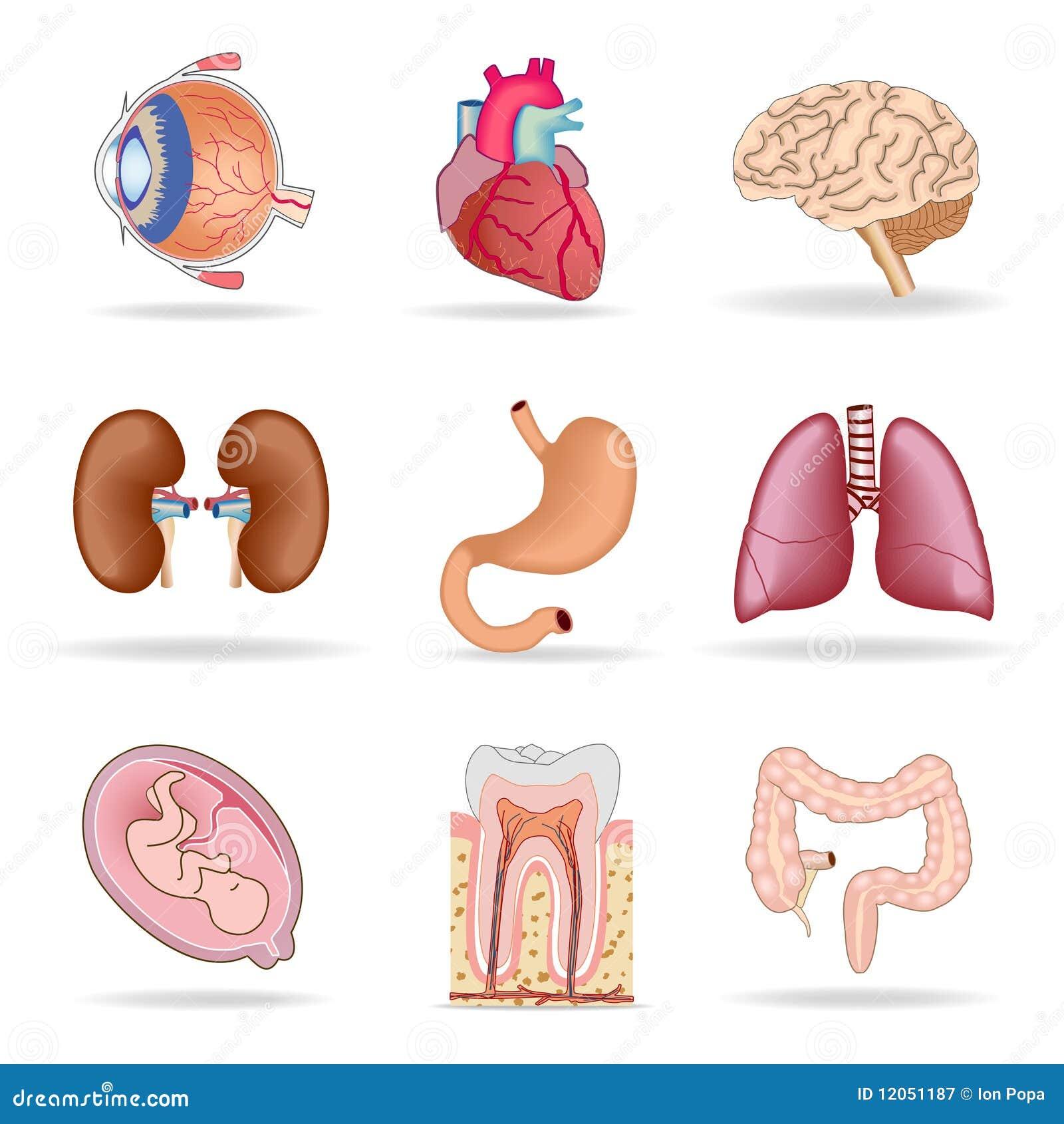 Internal Organs Human Body