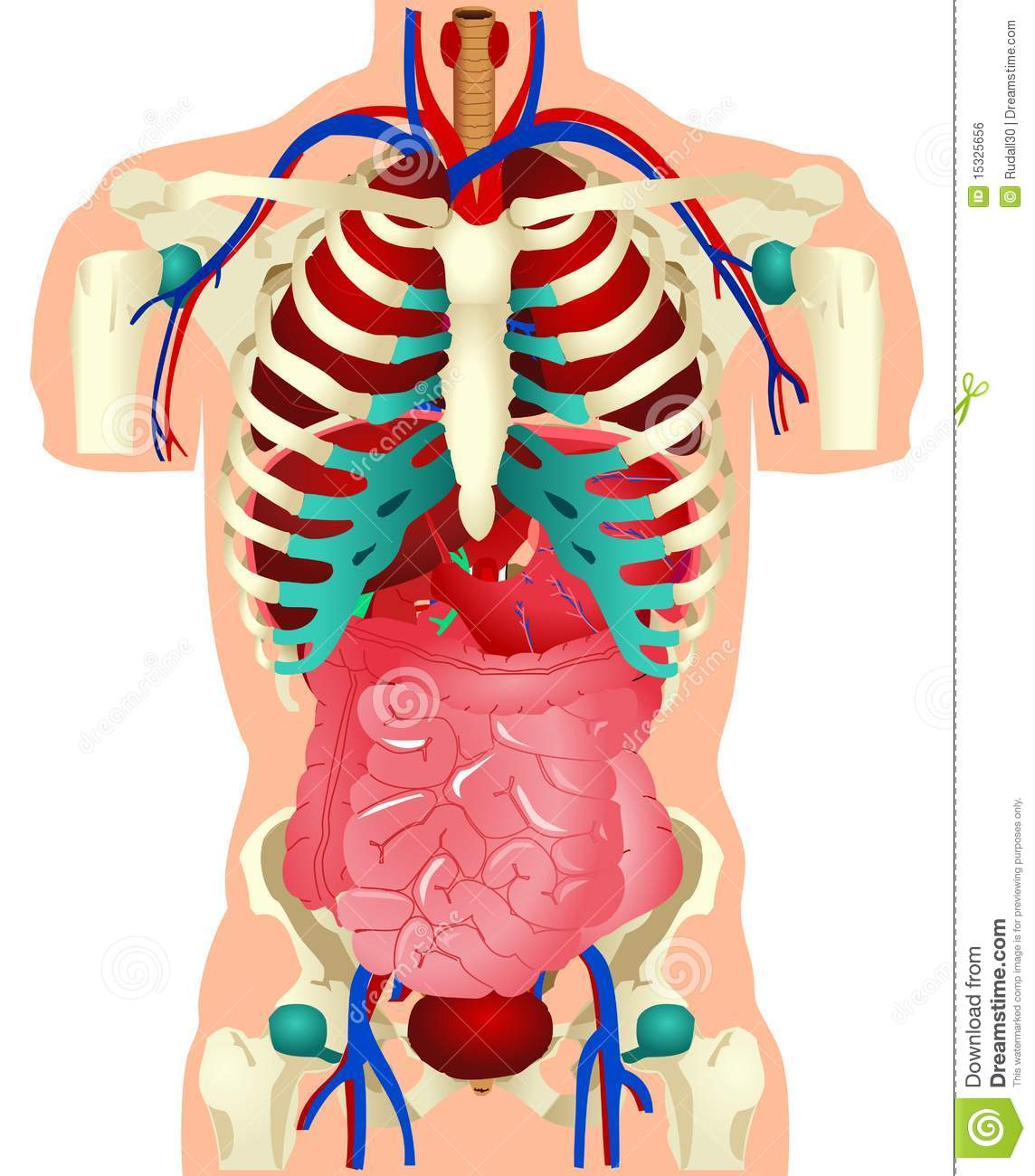 Respiratory System as well Circulatory System 17795753 besides 000test12 in addition 4ef7fc0808b23b48c8d7854bc707ca37 moreover Royalty Free Stock Image Human Organs Image15325656. on circulatory system drawing