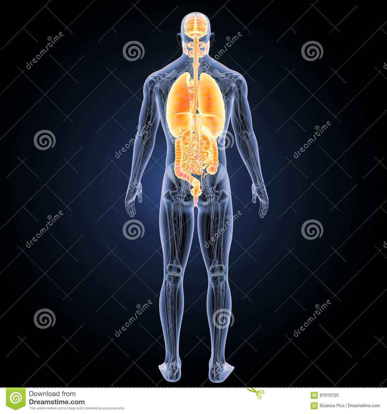 Human Organs With Anatomy Posterior View Stock Illustration