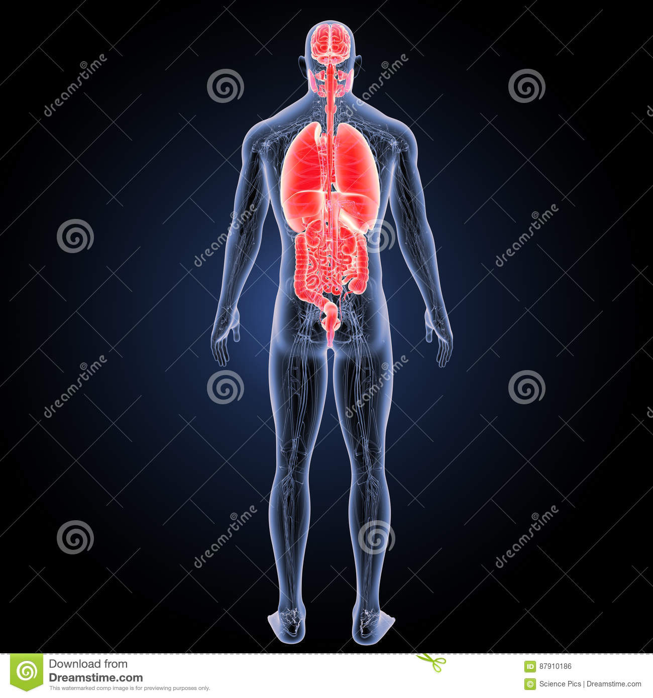 Human Organs With Anatomy Posterior View Stock Illustration ...