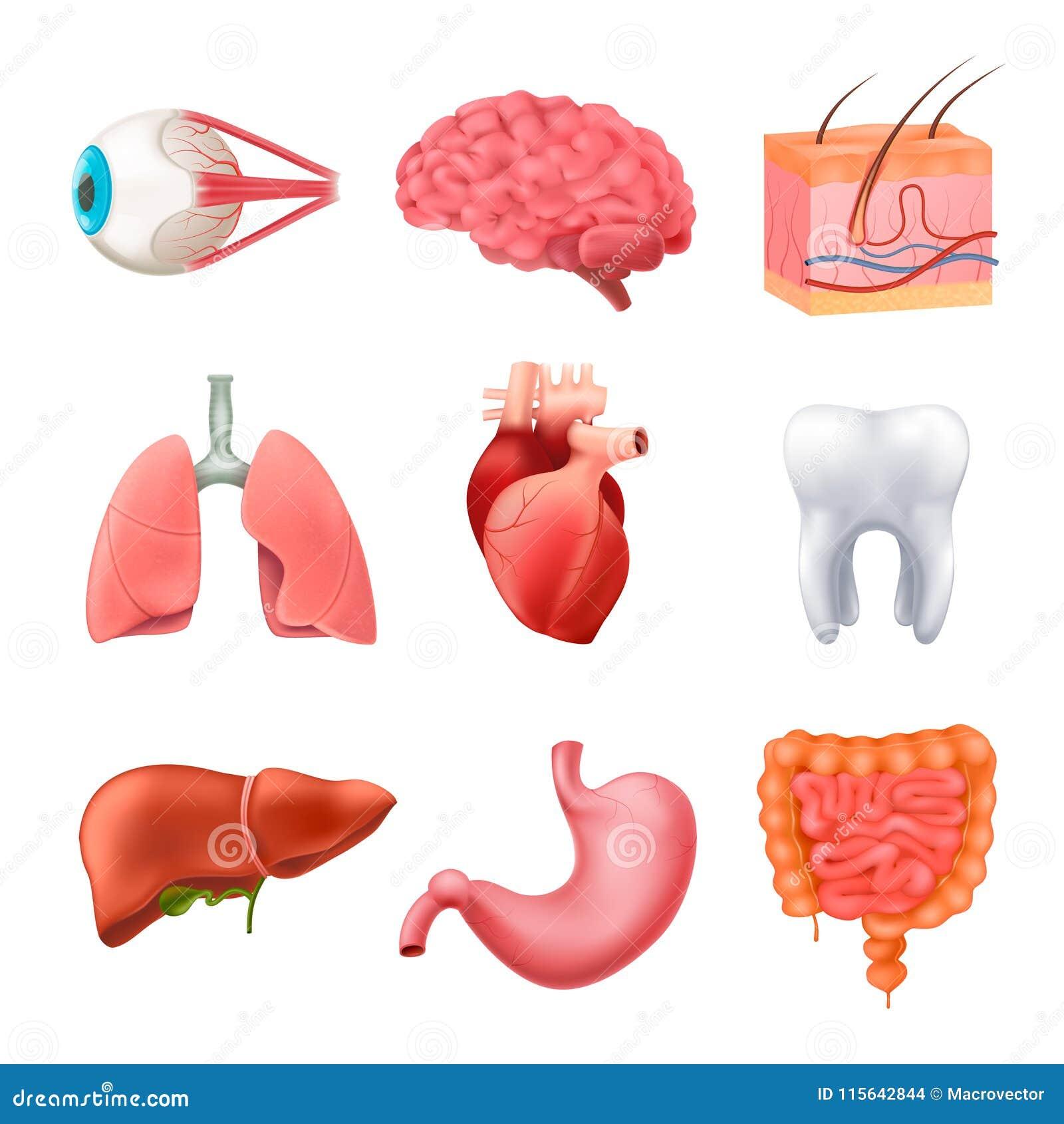 Human Organs Anatomy Realistic Set Stock Vector - Illustration of ...