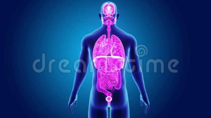 Human organs with body stock footage illustration of lungs 99048222 ccuart Image collections