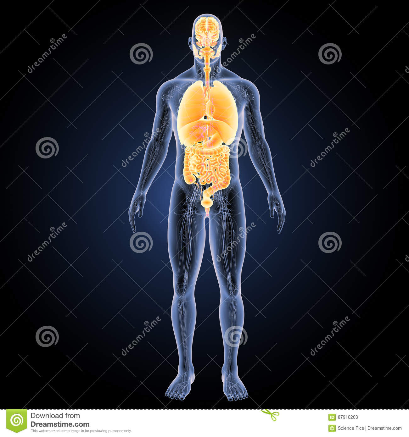Human Organs With Circulatory System Anterior View Stock ...