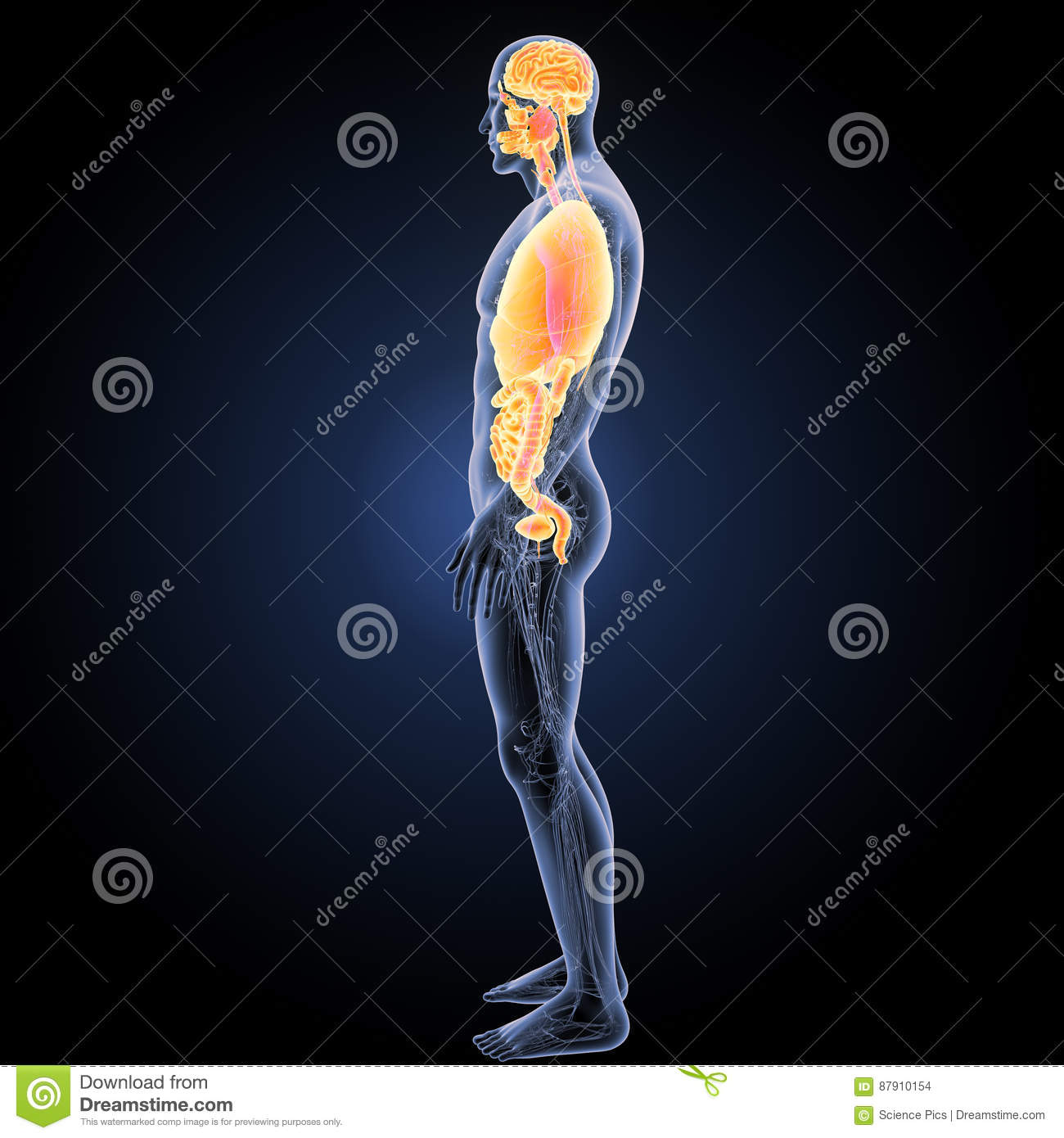 Human Organs With Circulatory System Lateral View Stock Photo ...