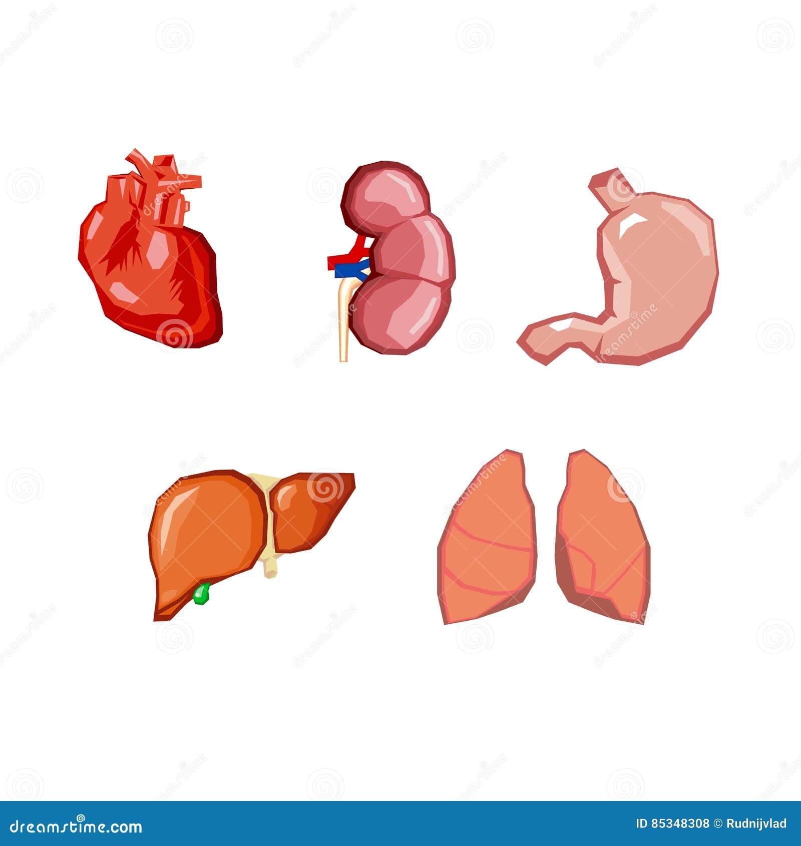 Human Organs Internal Organs Set Human Anatomy Internal Parts Of
