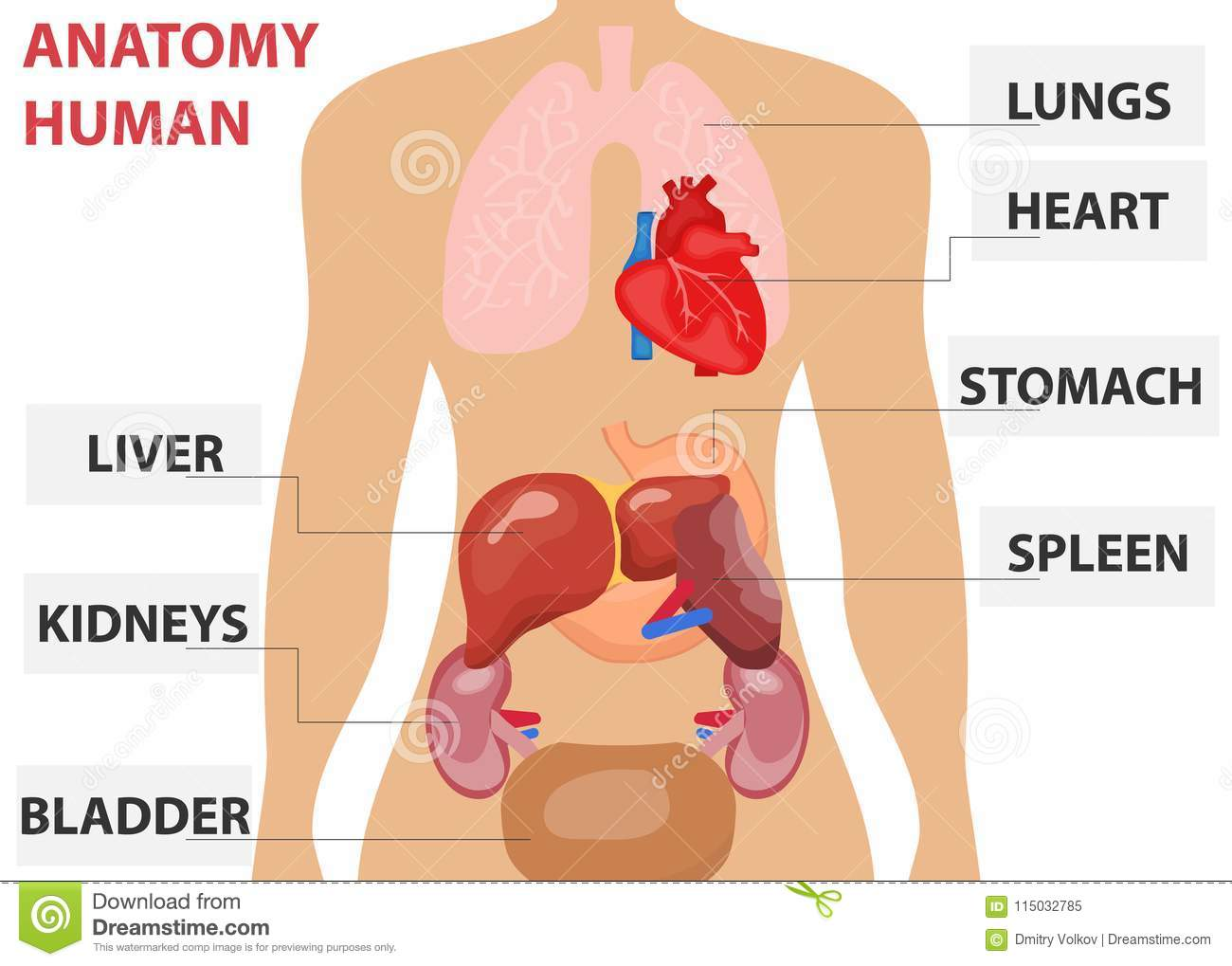 Human Organs The Placement Of Human Organs In The Body Human