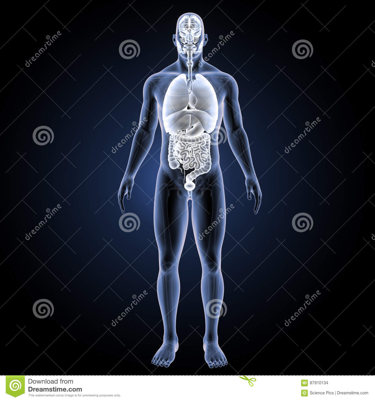 Human Organs With Skeleton Anterior View Stock Photo Image Of